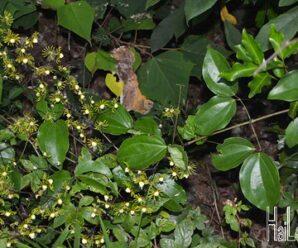 ดอกตาย หลอกตาย อุโซมาติ ไม้เลื้อย ดอกมีสีเหลืองอมเขียว