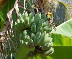 การเก็บกล้วย บ่มกล้วย และชะลอการสุกของกล้วย หลังการเก็บเกี่ยวก่อนจำหน่าย