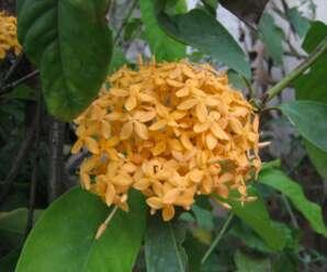 เข็มส้ม ดอกรูปเข็ม สีส้มเหลืองอมชมพู นิยมปลูกประดับตกแต่งสวน หรือริมทางเดิน