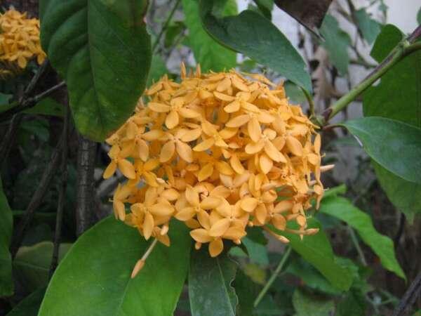ดอกเข็มส้ม