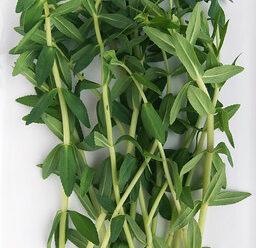 ผักแขยง ต้น ยอดอ่อน และใบอ่อน รับประทานเป็นผักสด