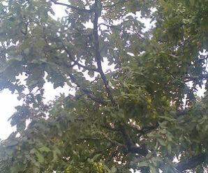ขี้อ้าย ไม้ต้นขนาดกลางถึงใหญ่ ลำต้นเปลาตรง เปลือกต้น สีน้ำตาลคล้ำ