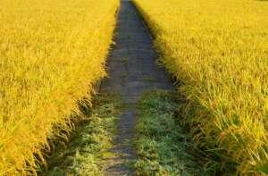 ต้นข้าวสีเหลืองทอง