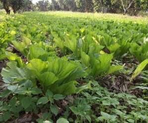 ผักกาดเขียวปลี เป็นผักที่มีรสขมจึงไม่นิยมบริโภคสด นิยมนำมาดอง