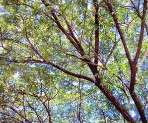 กร้ามปู ก้ามกราม กิมปี๊ ฉำฉา สารสา สำสา ลัง ไม้ยืนต้นขนาดสูง เนื้อไม้ใช้ในงานแกะสลัก