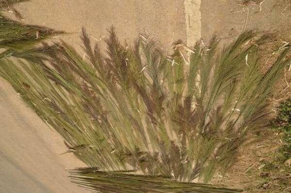 หญ้าตองกง