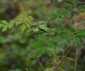 สีฟันคนทา ไม้พุ่มรอเลื้อยสูง ลำต้นมีหนามแหลมสั้น
