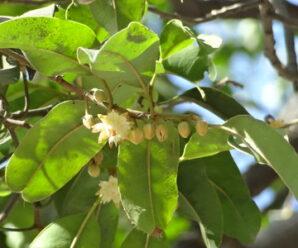 ต้นเกด ไม้ยืนต้น มีดอกเป็นกระจุกตามง่ามใบ ดอกขนาดเล็ก สีเหลือง