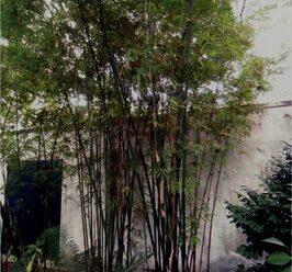 ต้นไผ่เลี้ยง เป็นไผ่ที่ไม่มีหนาม จึงเหมาะกับการจัดสวน