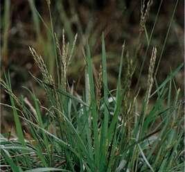 หญ้าหางนกยูง พืชอายุหลายปี เป็นแหล่งอาหารสัตว์ตามธรรมชาติสำหรับแทะเล็ม