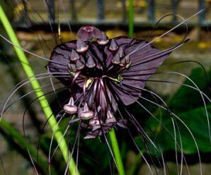 ค้างคาวดำ ไม้ล้มลุก ดอกมีลักษณะคล้ายค้างคาวบิน