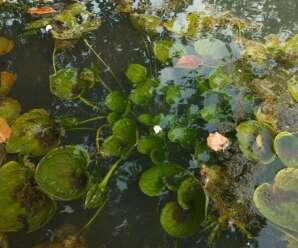 สันตะวาใบพาย เป็นพืชน้ำอายุปีเดียว ใบอ่อน ก้านใบและดอก รับประทานเป็นผักสดกับน้ำพริก