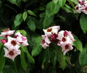 แย้มปีนัง ไม้พุ่มรอเลื้อย ดอกสีขาวอมม่วงชมพู มีกลิ่นหอม