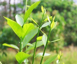 ผักหวานป่า ใช้ยอดอ่อน ใบอ่อน และผลอ่อนกินเป็นผัก