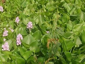 ผักตบชวา วัชพืชน้ำที่มีอายุยืนหลายปี นำมาจักสานเป็นผลิตภัณฑ์เครื่องใช้