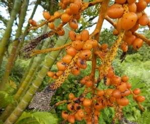 หมากเหลือง นิยมปลูกประดับเป็นพืชที่ดูดสารพิษจากอากาศ