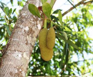 ขนุน ไม้ต้นขนาดใหญ่ ผลอ่อนใช้ปรุงอาหาร ผลสุกเยื่อหุ้มเมล็ดมีรสหวาน