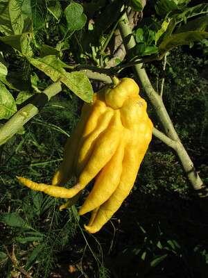 ผลส้มมือ