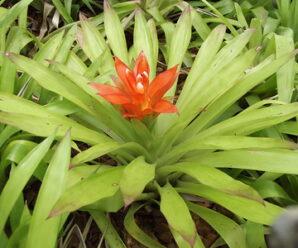 สับปะรดสี ไม้ประดับและพืชดูดสารพิษ