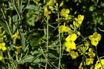 ดอกผักกาดมูเซอ