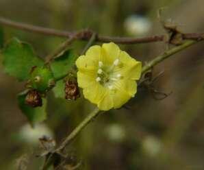 เถาสะอึก เป็นวัชพืช ทั้งต้นต้มน้ำดื่มหรือแช่น้ำ ทาแก้งูสวัด