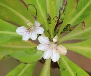 รักทะเล ปลูกเป็นไม้ดอกไม้ประดับทั่วไป-มีสรรพคุณสมุนไพร