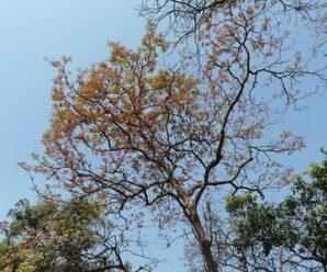 สมอพิเภก ไม้ต้นขนาดกลางถึงขนาดใหญ่ ลำต้นเปลาตรง