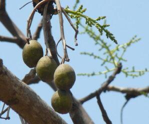 มะกอก ยอดอ่อน ผล นำมารับประทานหรือปรุงอาหารอื่นที่ต้องการรสเปรี้ยว