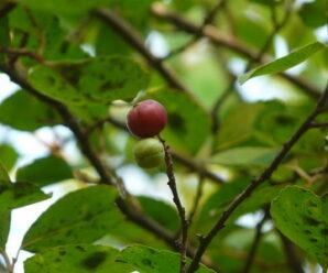 ต้นตะขบ ผลมีรสหวานฝาดเล็กน้อย ลูกขบ ภาษาใต้ ผลมีปริมาณวิตามินบีสูง