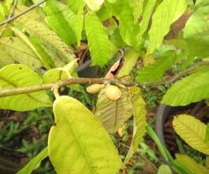 บุหงาเซิง ดอกส่งกลิ่นหอมตั้งแต่ช่วงบ่าย และหอมมากในช่วงพลบค่ำ ออกดอกตลอดทั้งปี