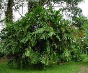 กะพ้อ พืชพื้นเมืองทางภาคใต้ ใบนำมาทำเครื่องจักสาน หรือใช้ห่อขนมต้ม