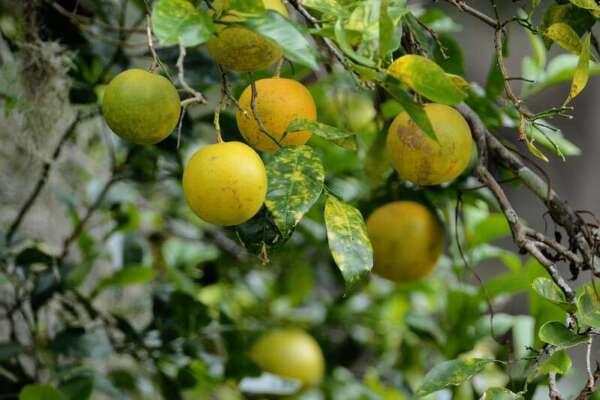 ผลส้มเช้ง
