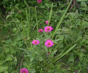 บานชื่น ไม้มงคล เป็นไม้ดอกไม้ประดับ หรือปลูกเป็นไม้กระถาง