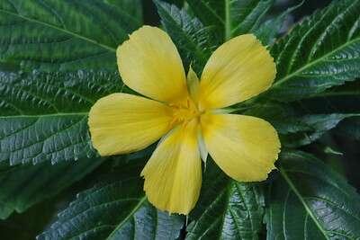 ดอกบานเช้าสีเหลือง