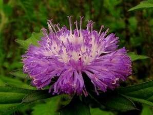 กระดุมไพลิน เป็นไม้ประดับและวัชพืช น้ำมันที่สกัดจากใบเป็นยาปฏิชีวนะ