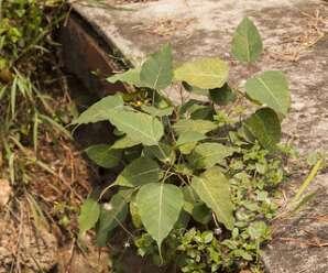 ต้นโพธิ์ ปลูกให้ร่มเงา และเป็นไม้มงคลพระราชทานประจำจังหวัดปราจีนบุรี