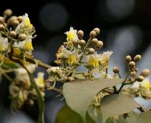 กำลังช้างเผือก ดอกมีกลิ่นหอมอ่อน นิยมนำมาปลูกเป็นไม้ประดับ