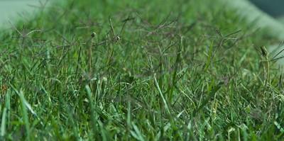 หญ้าแพรก