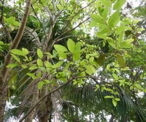รังโทน  กิ่งอ่อน ใบอ่อนและช่อดอก มีขนหนาแน่น ลำต้นมีหนาม