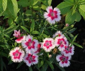 ดอกผีเสื้อ เป็นไม้พุ่ม ดอกคล้ายปีกของผีเสื้อ
