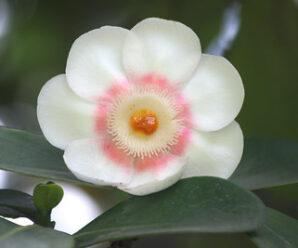 เกร็ดกะโห้ ดอกมีกลิ่นหอม นิยมปลูกเป็นไม้ประดับ ไม้กระถาง