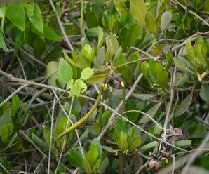 โปรงแดง ไม้ยืนต้นขนาดเล็กถึงกลาง ขึ้นอยู่ด้านในของป่าชายเลน