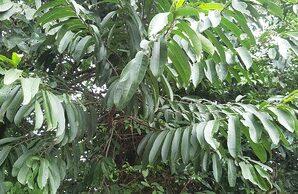 กรวยป่า ไม้ต้นขนาดเล็กถึงขนาดกลางไม่ผลัดใบ
