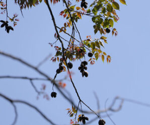 มะเฟืองช้าง ไม้ต้นขนาดกลาง ผลกลมรี
