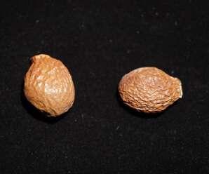 สำรอง เมล็ดจะดูดน้ำและพองตัวออกมา มีลักษณะเป็นแผ่นวุ้น แล้วนำมาใช้ประกอบอาหารได้