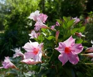 อมรเบิกฟ้า ไม้ดอกไม้ประดับ นิยมปลูกเป็นไม้กระถาง