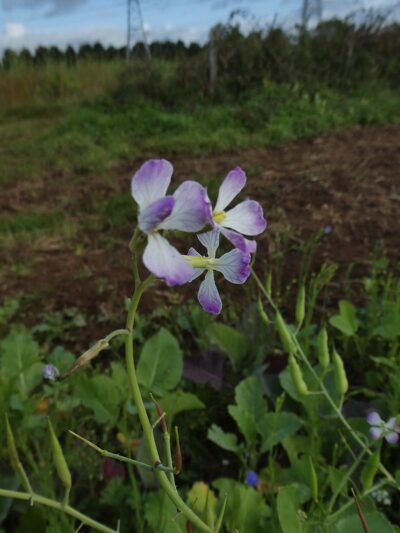 ดอกผักขี้หูด