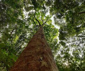 ตะเคียนทราย เป็นไม้ยืนต้นสูงใหญ่มาก เนื้อไม้มีน้ำยางชันเป็นจำนวนมาก