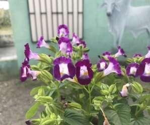 แววมยุรา ปลูกเป็นไม้ดอกไม้ประดับหรือปลูกคลุมดิน