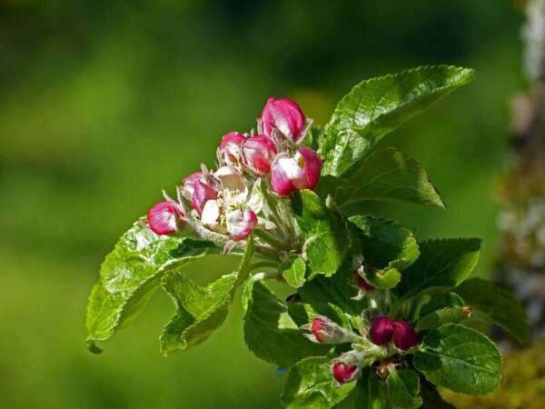 ใบและดอกแอปเปิล